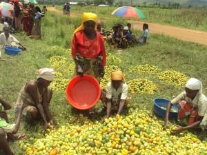 Burundi / Economie : Bururi - Analyse des Plans d'investissement annuel et des stratégies d'augmentation de la production ( Photo : dufashanyebdi)