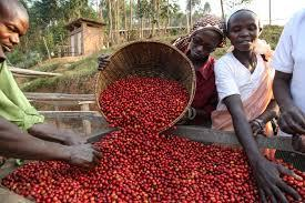 Burundi : La production du café cerise passée à 71.000 tonnes en 2017 ( Photo : RTNB  2017 )