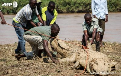 Burundi : Un crocodile sauvé, remis dans le Tanganyika ( Photo : AFP 2018 )