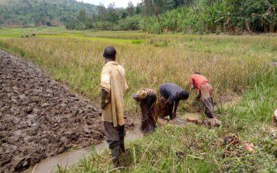 Burundi : Les riziculteurs de Ngozi en commune Kiremba ( Photo : IKIRIHO 2018 )