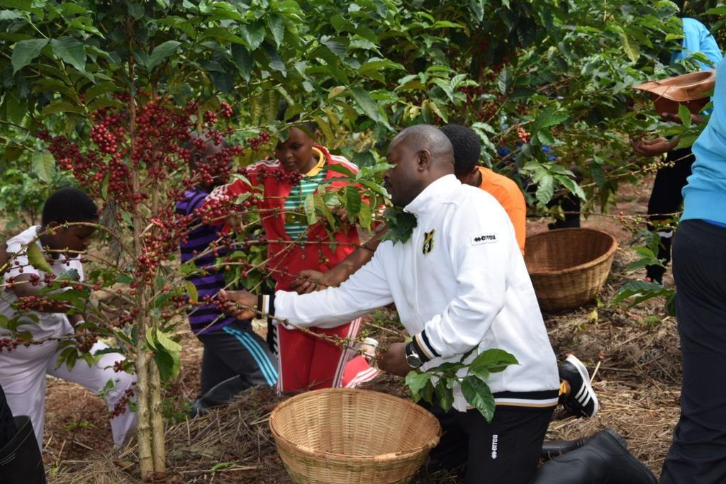 Burundi : L'engrais FOMI a donné une très bonne récolte du café cerise ( Photo : Menya, INTUMWA 2019 )
